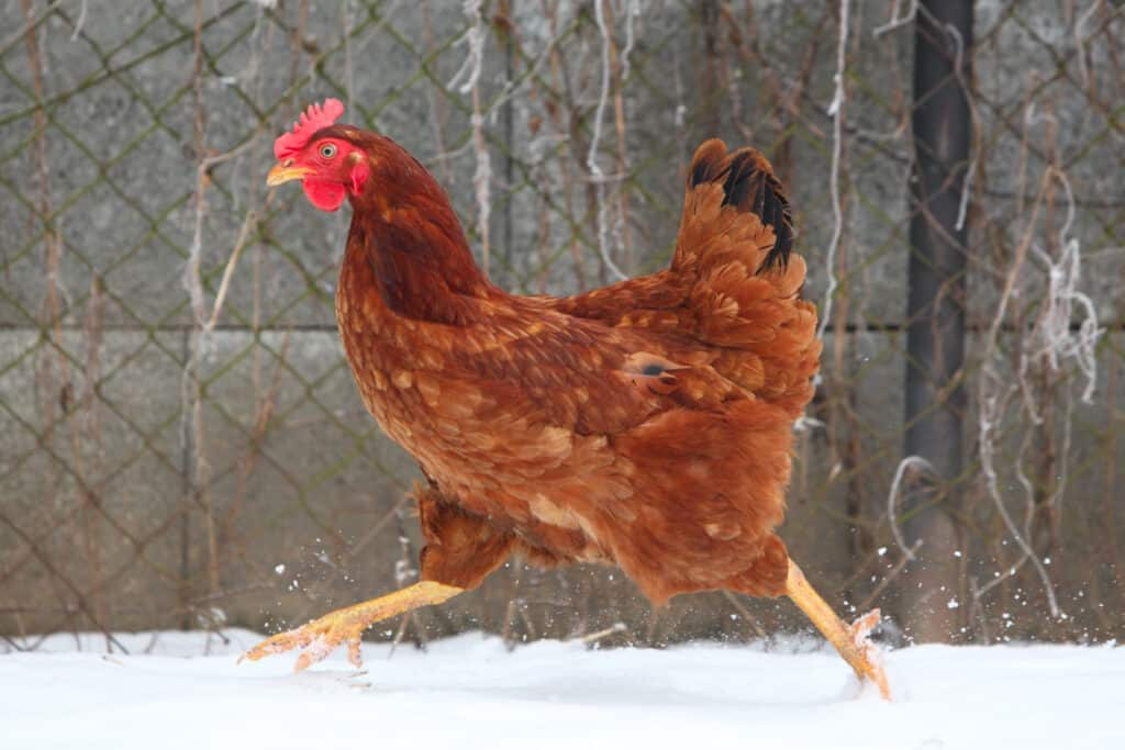 hen is not crowing as she runs