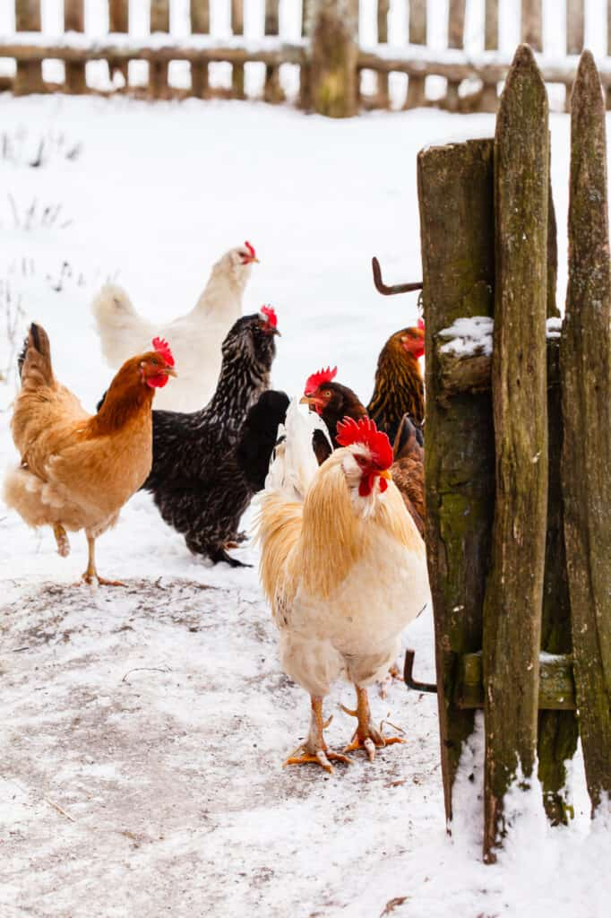 how cold is too cold for chickens with snow