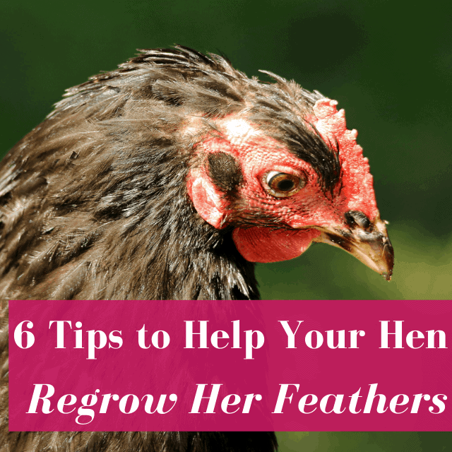 How Can My Hen Grow Her Feathers Back Fast?