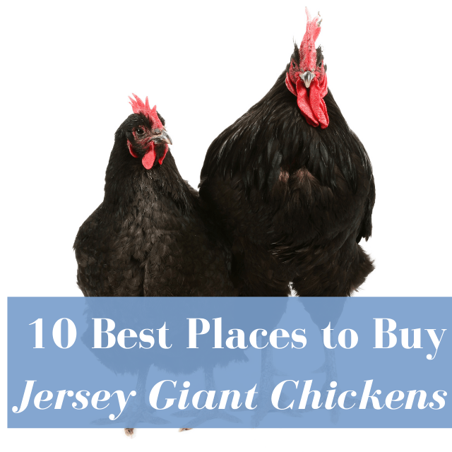 Best Hatcheries to Buy Jersey Giant Chickens