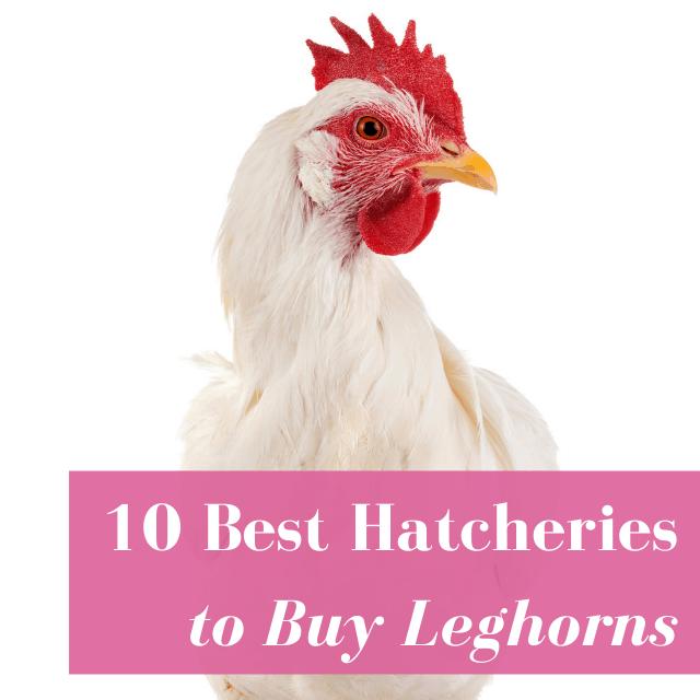 Best Hatcheries to Buy Leghorns