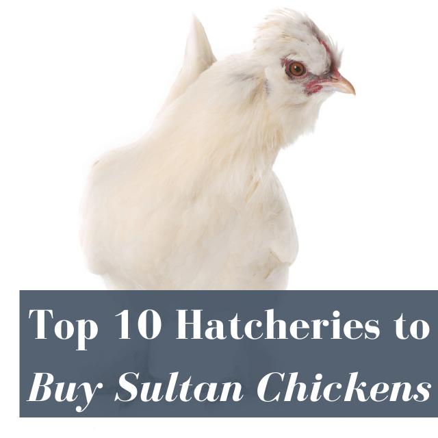 Best Hatcheries to Buy Sultan Chickens