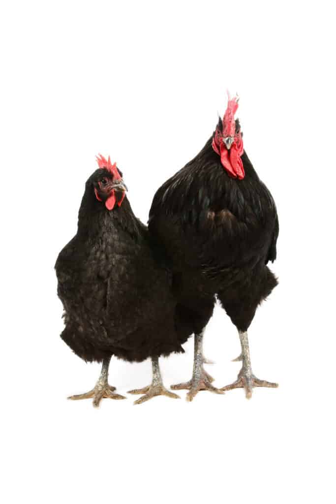 two jersey giant chickens