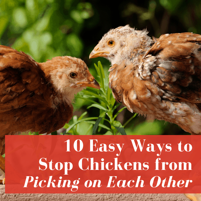How to Stop Chickens From Picking On Each Other