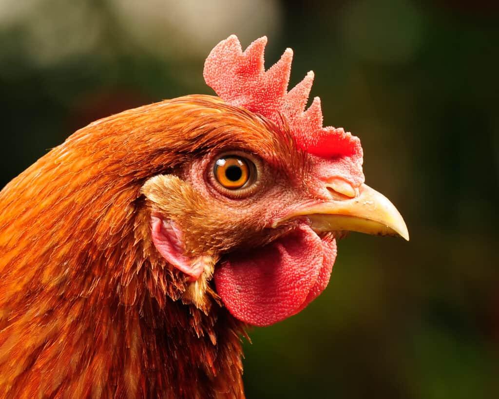 red sex link cinnamon queen chicken