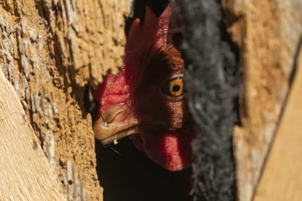 hen with broken beak watching flock