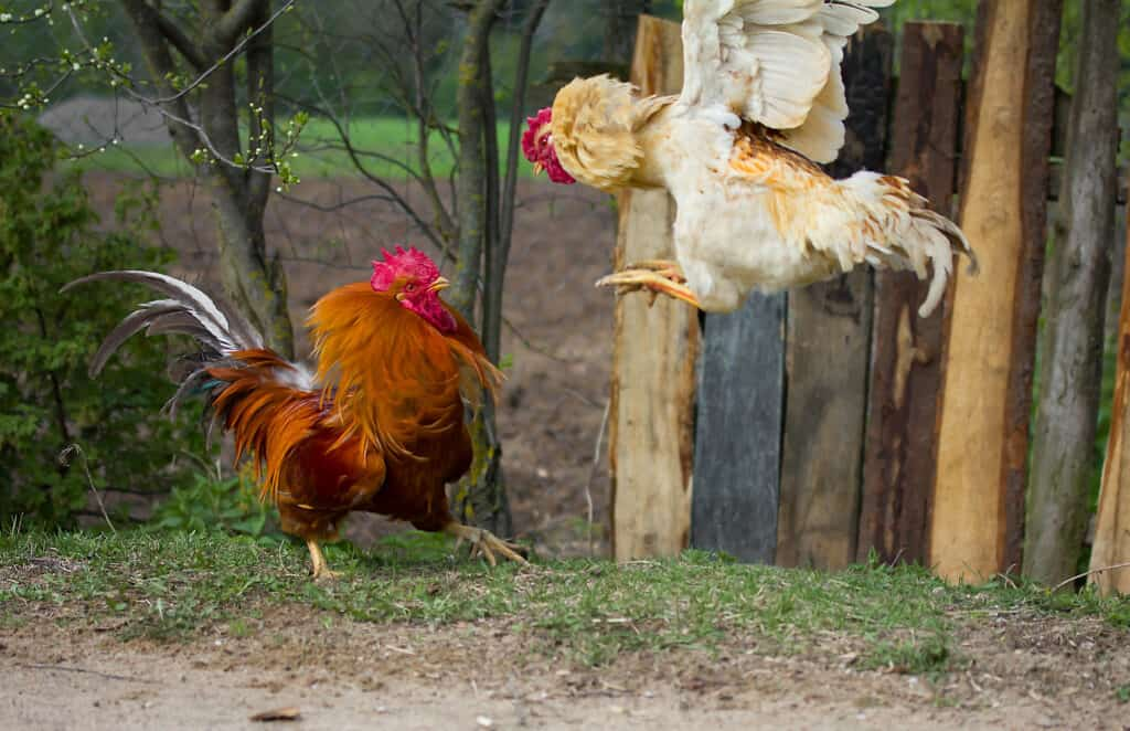 chickens fighting can cause broken beaks